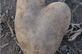500 κιλά πατάτες ενός παραγωγού σώθηκαν & προσφέρθηκαν μέσω του Μπορούμε